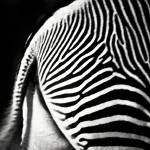 """Zebra Rear"" by darknesstolight"