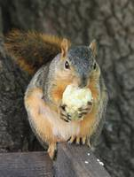 Squirrel with sweat corn