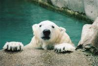Polar Bear ~ A Refreshing Dip