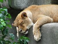 Lion ~ Snoozing