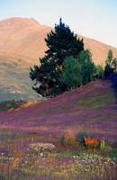 Wanaka Heather