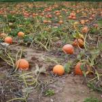 """""""Pumpkin Field"""" by sreese"""