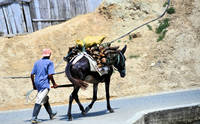 Man and burro collecting wood