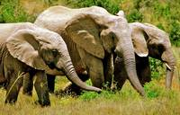 Three little elephants