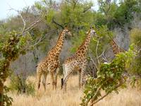Three little giraffes