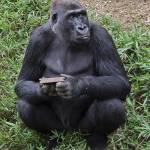 """""""Western Lowland Gorilla"""" by BrendanReals"""