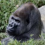 """""""Silverback Gorilla"""" by BrendanReals"""