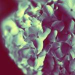 """hydrangea"" by rYgardner"