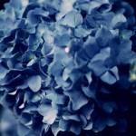 """Hydrangea Heart"" by rYgardner"
