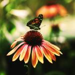 """Butterfly and Coneflower"" by rYgardner"