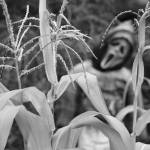 """Scary Cornstalks in Black and White"" by lightningman"
