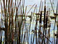 Cattails and Lily Pads