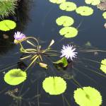 """Water Lilies - New Orleans Style"" by jglyden"