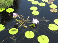 Water Lilies - New Orleans Style