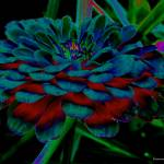 """The Colors of a Zinnia"" by Kimmary"