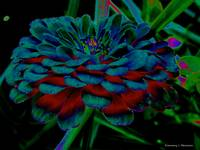 The Colors of a Zinnia