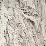 """Brown Creeper 13x13"" by Coloradographicalchemy"