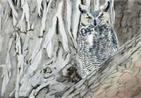 Great Horned Owl a wink at you 23x16