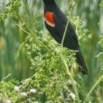 """Red-winged Blackbird 4"" by Coloradographicalchemy"