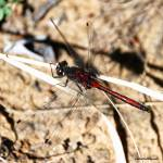 """Red Dragonfly"" by HYD"