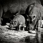 """Baby Hippo with Mama"" by photocell"