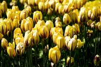 YellowTulips