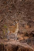 The Little Dik Dik