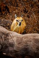 Feeding Klipspringer