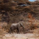 """Solitary Bull Elephant: Tanzania Africa"" by SanjayNayar"