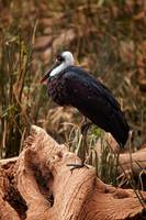 African Woolly Necked Stork