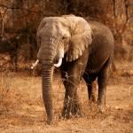 """Elephant : Tanzania"" by SanjayNayar"