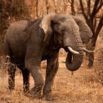 """""""African Elephant"""" by SanjayNayar"""