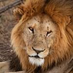 """African Lion"" by SanjayNayar"