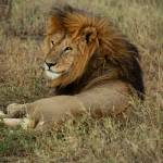 """Indifferent :  Lion : Serengeti, Tanzania"" by SanjayNayar"