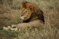 Indifferent :  Lion : Serengeti, Tanzania