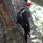 """Pileated Woodpecker"" by marshacarson"