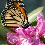 """""""monarch butterfly on flower"""" by stevenricciphotography"""