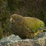 """Kea - New Zealand Alpine Parrot"" by ChrisWhitePhotography"