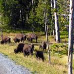 """Buffalo herd"" by MartinaPaul"