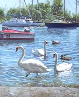 christchurch harbour swans and boats