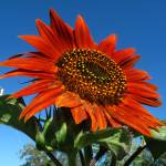 """Rusty Orange sunflower 2"" by JoyceDickens"