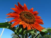 Rusty Orange sunflower 2