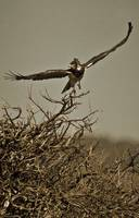 Black-Chested Snake Eagle5