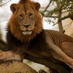 """""""A Lion"""