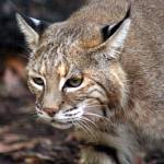 """bobcat on the prowel"" by MyTreasuredImages"