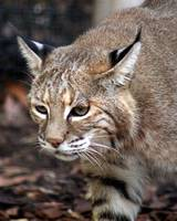 bobcat on the prowel
