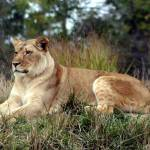 """lioness"" by MyTreasuredImages"