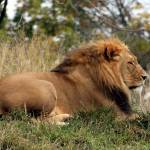"""resting lion"" by MyTreasuredImages"