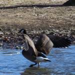 """Handsome Canadian Goose Wading"" by PhotoArtbyAnjanette"