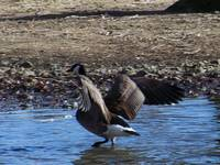 Handsome Canadian Goose Wading